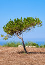 A lonely pine growing on the scorched earth on the mediterranean shaped by wind coast near hagar qim megalithic temple malta Stock Photo