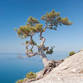 Lonely pine on the rock Royalty Free Stock Photo
