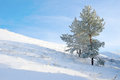 Lonely pine snow covered on the hill Royalty Free Stock Photography