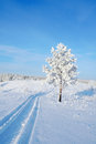 Lonely pine snow covered on the hill Stock Images