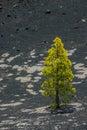 Lonely pine tree in La Palma Royalty Free Stock Photo