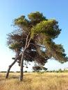 Lonely pine trees near the mediterranean coast at port of Sagunto spain