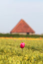 Lonely pink tulip in front of a Dutch farm barn Stock Image