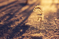 Lonely plant lone in the winter at sunset Stock Photography