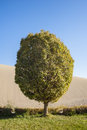 A lonely popla poplar standing in front of the sand dunes Stock Photo