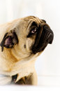 Lonely pug eye contact Stock Photography