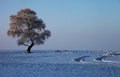 A lonely rime tree during winter the white and loose is on the when the temper is below zero by the songhua river in china Stock Image