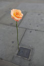 Lonely rose orange left on the grey london street Stock Photo