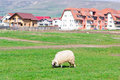 Lonely sheep grazing on field country view at near blocks Stock Photos