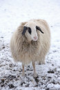 Lonely sheep in winter with thick winter coat farm animal Royalty Free Stock Photos