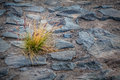 Lonely shrub on a stony pathway gran canaria Stock Images