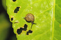 Lonely snail on green leaf with holes eaten by pests in natural light Stock Photography