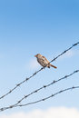 Lonely sparrow standing on barbed wire Royalty Free Stock Photo