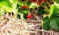 Lonely strawberry on field Royalty Free Stock Photo