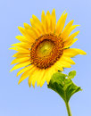 Lonely sunflower Royalty Free Stock Photo