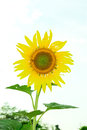The lonely sunflower with the couldy day Royalty Free Stock Photo