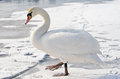 Lonely swan on ice Royalty Free Stock Images