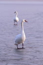Lonely swan on ice swans the lake balaton of hungary in winter Royalty Free Stock Photography
