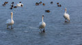 Lonely swans on ice the lake balaton of hungary in winter Royalty Free Stock Photo