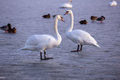 Lonely swans on ice on the lake in winter balaton of hungary Royalty Free Stock Photography