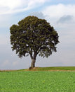 Lonely Tree 2 Royalty Free Stock Photo