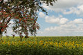 Lonely tree on background of sunflower Royalty Free Stock Photo