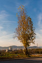 Lonely tree with Barcelona cityscape on the background Royalty Free Stock Photo