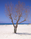 Lonely tree on the beach dry sandy Stock Photography