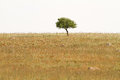 Lonely tree in dry field a standing a dried grass the island of lesvos greece Stock Photo