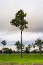 Lonely tree on field at dawn a Royalty Free Stock Photography