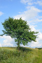 Lonely tree in field summer Stock Photo