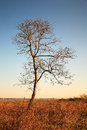 Lonely tree landscape single in a dry field on a clear blue spring morning Stock Photography