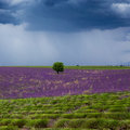 Lonely tree in the lavender field under storm clouds Royalty Free Stock Photo