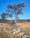Lonely tree near lake baikal in siberia Stock Photo