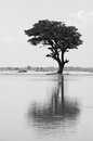 Lonely tree reflect on water a large it s silhouette surface of river at countryside Stock Photo