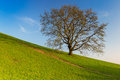 Lonely tree in the slope spring on Royalty Free Stock Photo