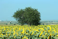 Lonely tree in sunflower field Stock Photo