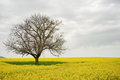 Lonely Tree in a Yellow Field Stock Images