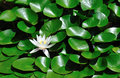 Lonely water lilly Stock Photography