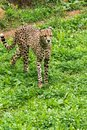 Lonely wild cheetah on the grass Royalty Free Stock Photo