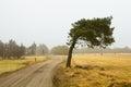 Windswept pine tree Royalty Free Stock Photo