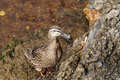 Lonesome duck wild tasmanian drawn to the rocks to retrieve some bread section of the river derwent southern tasmania Royalty Free Stock Photography