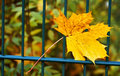 Lonesome leaf one on a fence Royalty Free Stock Images