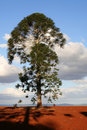 Lonesome Pine Royalty Free Stock Photos
