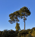 Lonesome pines this is two in elgin moray scotland uk Stock Image