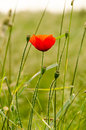 Lonesome poppy in the meadow Royalty Free Stock Photography