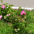The long-awaited spring has come and beautiful rose flowers have bloomed Royalty Free Stock Photo