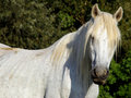 Long bangs white horse with a white Stock Photo
