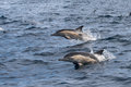 Long-beaked Common Dolphins jumping out of the water Royalty Free Stock Photo