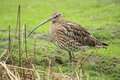 Long-billed curlew Stock Photography